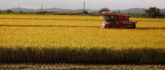 황금 들판…벼 수확