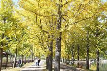 `황금 옷` 갈아입은 괴산 은행나무길