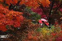 [렌즈 속 세상] 저무는 가을 속 `비와 단풍`
