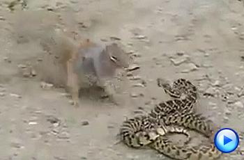 뱀과 싸워 이긴 다람쥐